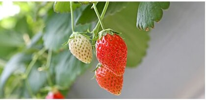 イチゴ栽培イメージ