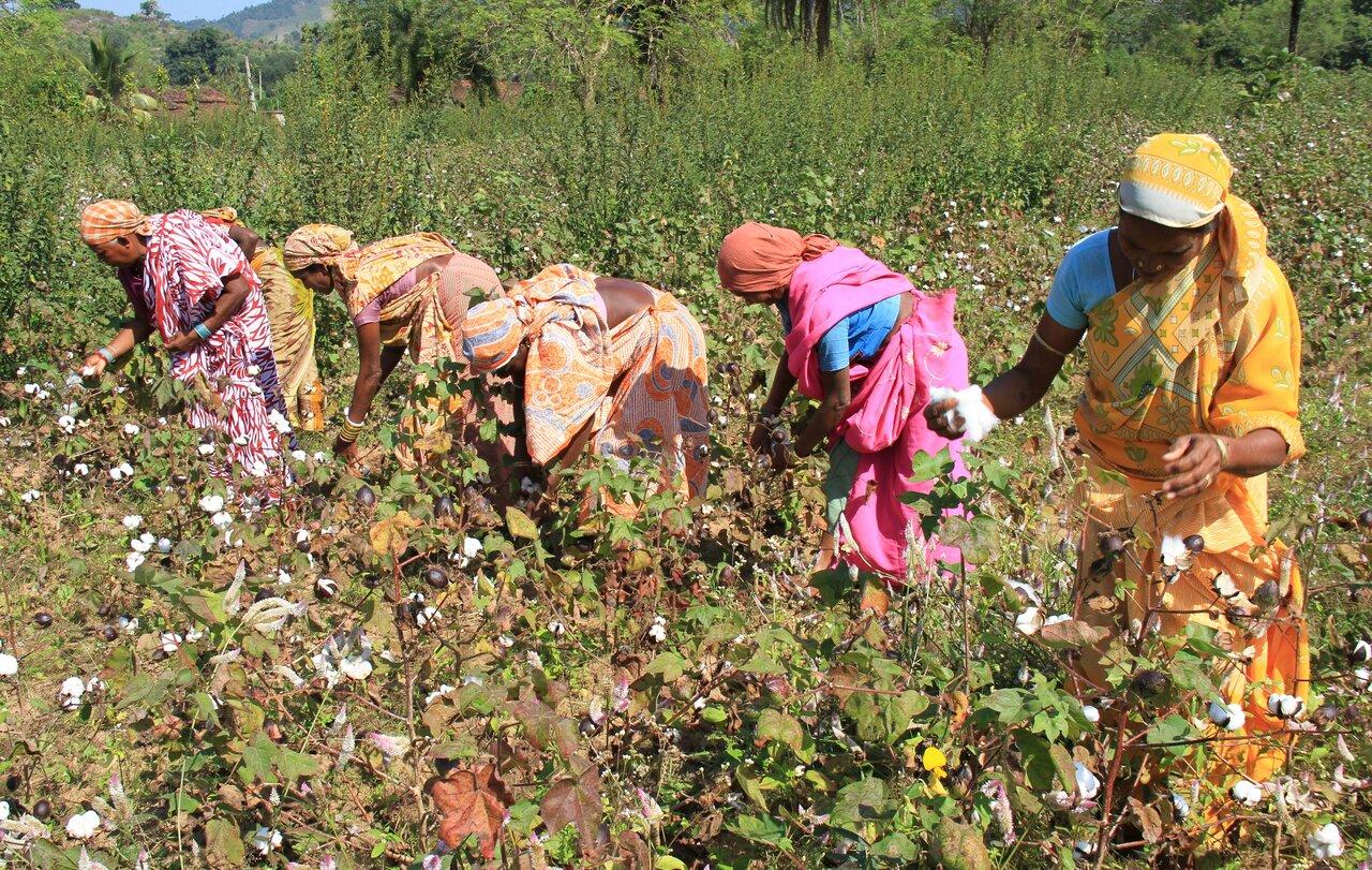 インドのオーガニックコットンの栽培