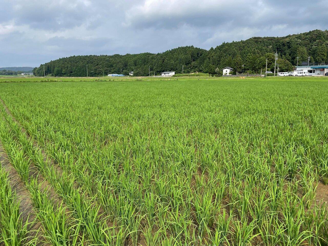 石川酒30号の稲の栽培風景。