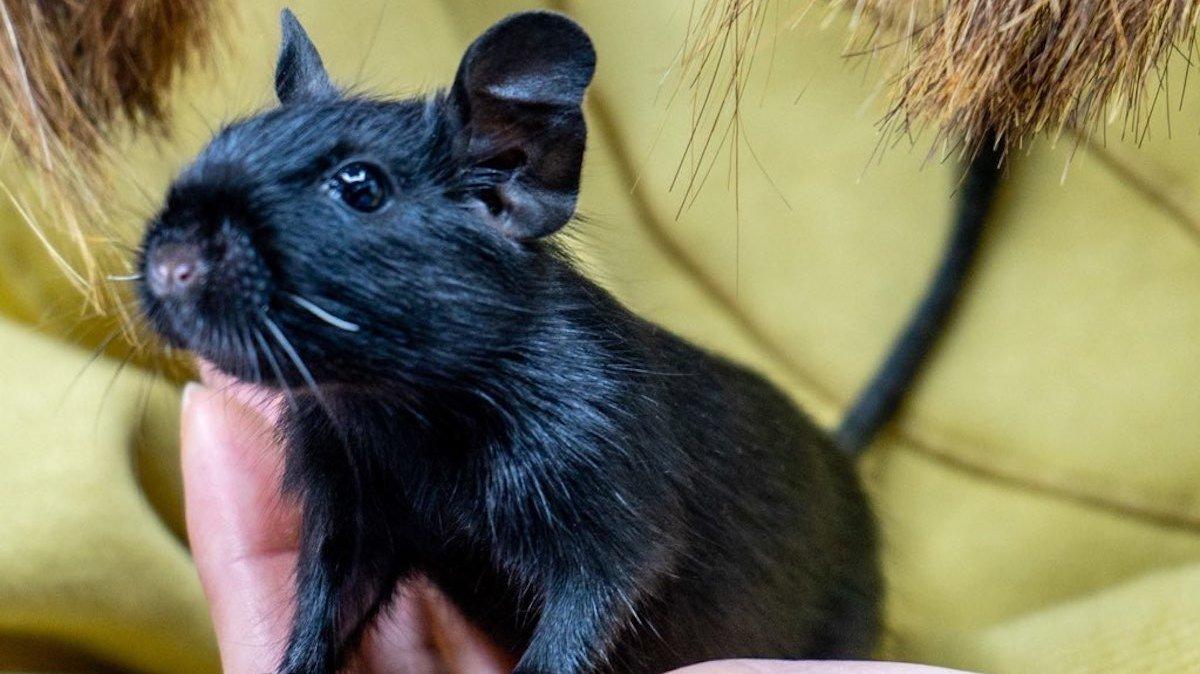 「ブラックデグー」をお迎え!日本ではレア!ピルピル鳴く愛らしい姿にメロメロ