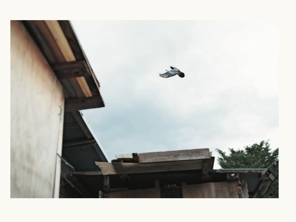 """災害時、被災現場との通信手段に。高校生・中嶌健さんの、""""救援鳩""""を育てる研究。"""