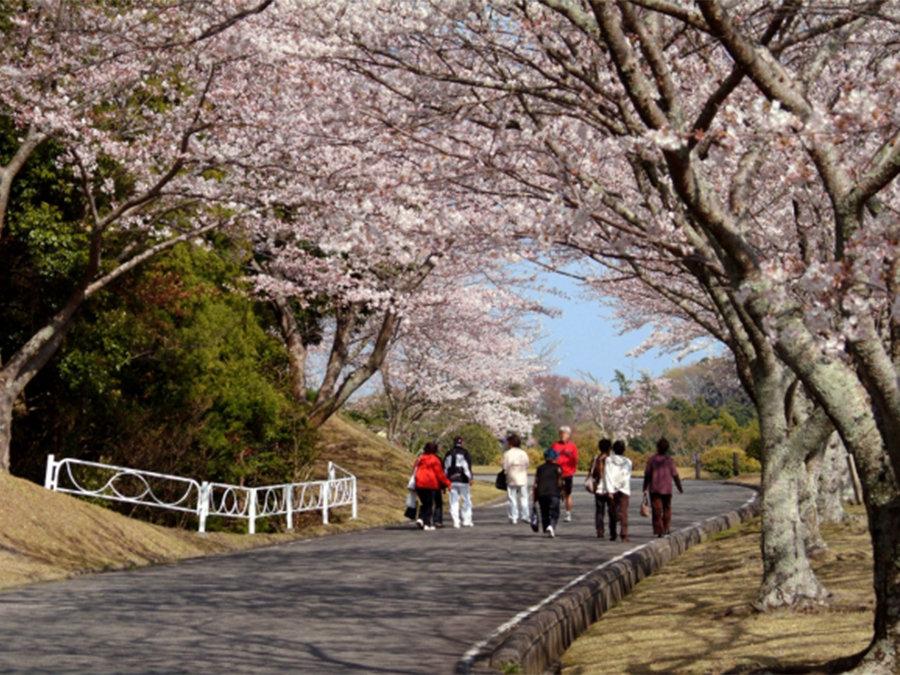 散策しながら桜を楽しむ、つま恋の桜まつりを開催。