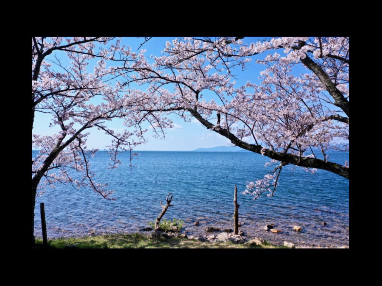 おうちじかんを楽しもう。日本全国の美しい桜を見ながらオンライン花見。
