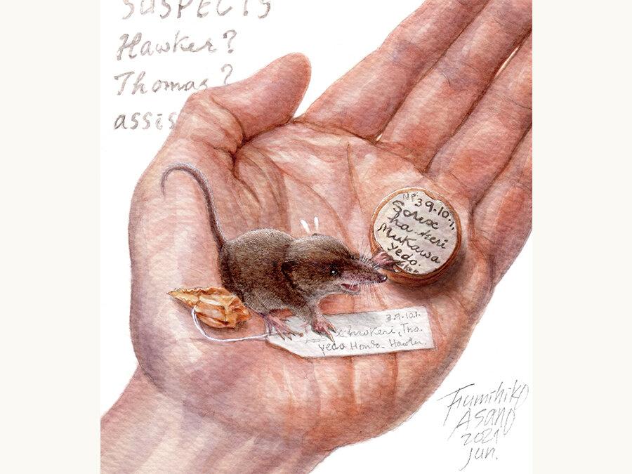 北海道のトウキョウトガリネズミ