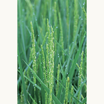 京都・四條司家と京都・丹波の米農家がつくる本当に旨い米「四條家米」。食卓に届くまであと少し。