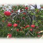 天候被害を受けた生産者の方々を販売で応援。「岩手県産天候被害果りんご」を順次販売