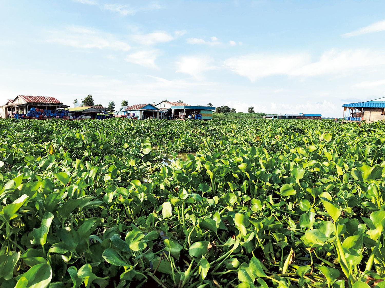 東南アジア最大の湖であるカンボジアのトンレサップ湖。ホテイアオイによって、水上生活者の交通や漁、水鳥や魚の生態系にも影響を及ぼしている。