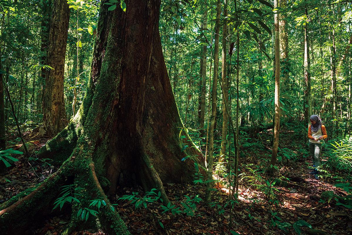 原生林は決して「密林」ではない。巨大な板根を持つ高木が広い間隔で立っているため、林床は意外にも開けている。