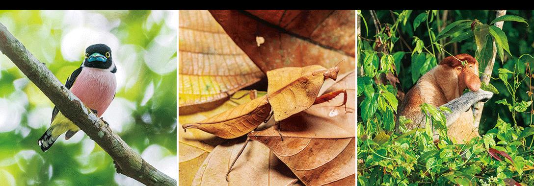 左・かわいい顔のクビワヒロハシ。熱帯低地林に棲息。 中央・後翅が枯れ葉そっくりのヒシムネカレハカマキリ。 右・ボルネオ島固有種のテングザルは河岸林で暮らす。