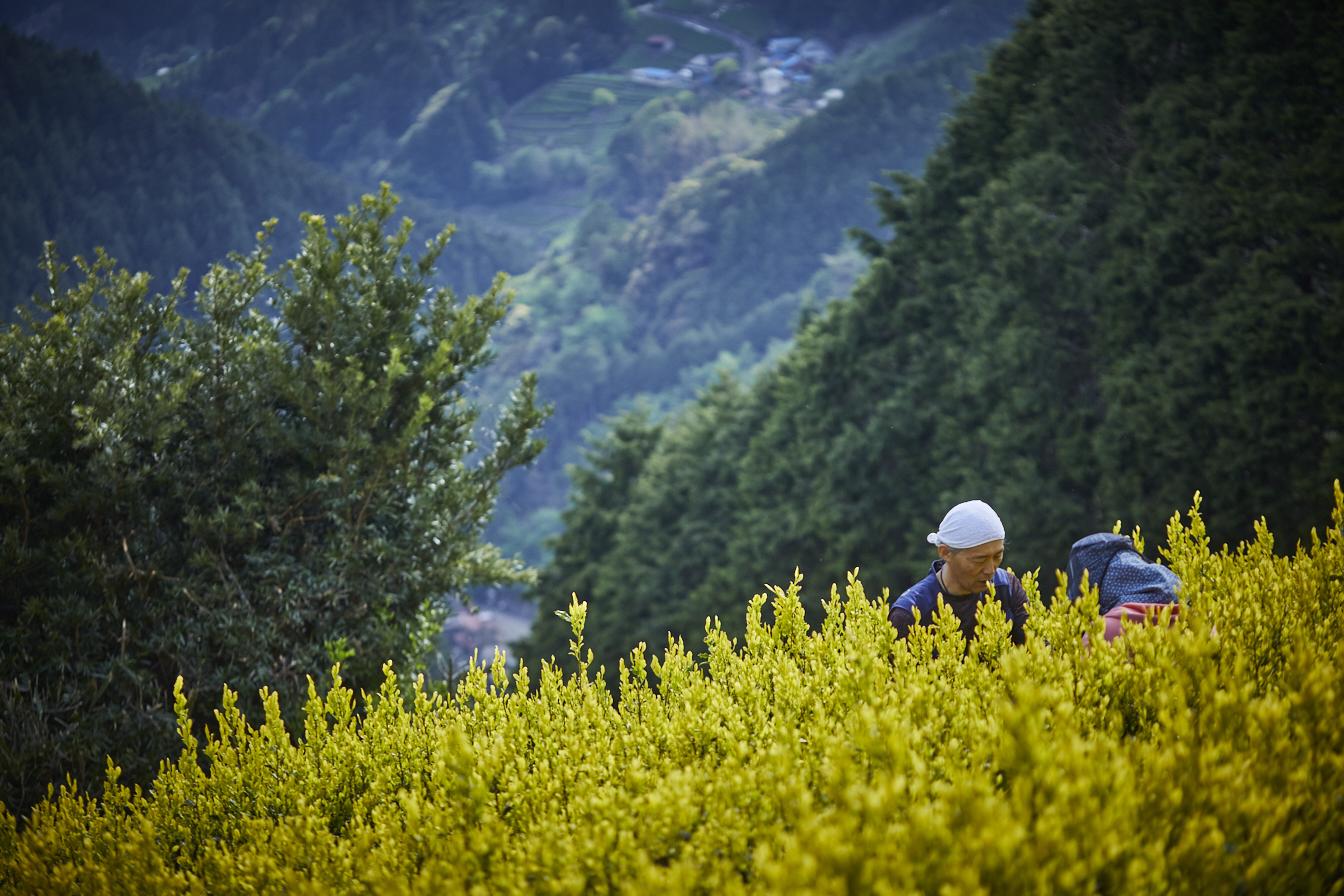 茶の間_黄金の茶畑