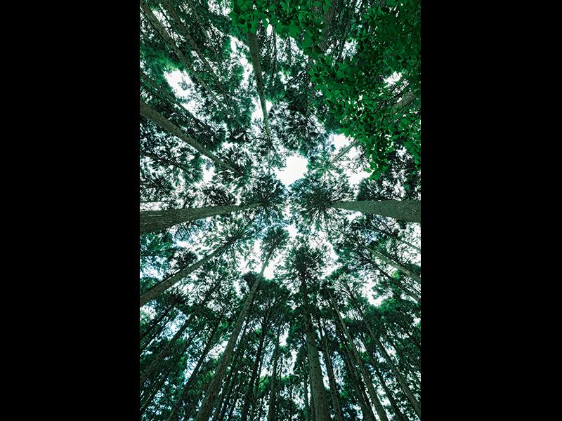 美しく間伐された森を見上げる。