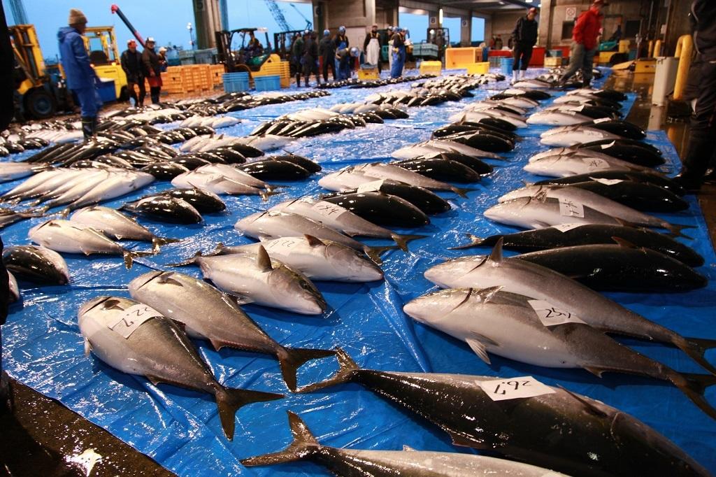 ▼氷見漁港、冬のセリの様子(写真:富山県氷見市)