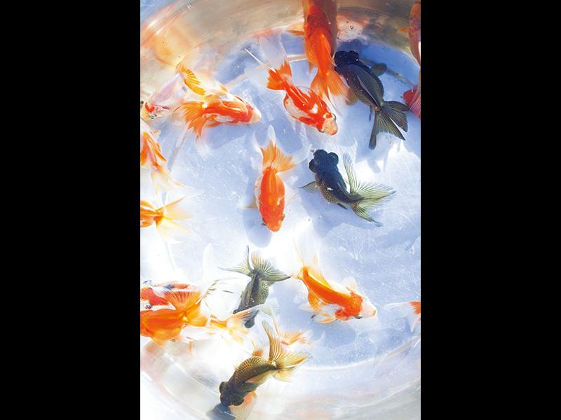 選別するために養殖池から引き上げ、たらいに移した生後3か月ほどの琉金と出目金。卸業者に出荷する金魚、大きく育てる金魚、親にして産卵させる金魚、金魚すくい用の金魚に分ける。
