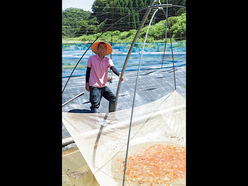 四つ手網で金魚を一気にすくい上げる。金魚は春に親が産卵し、容器のなかで孵化させ、1週間ほどで池に放流。山田さん自家製のエサを食べて育つ。