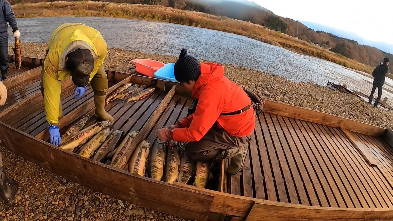 地元の人たちと一緒に鮭漁を行っている写真