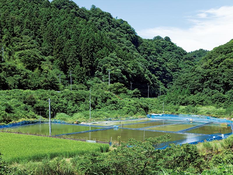 休耕田を金魚の養殖池に。地域の人たちの応援を受け、3年かけて大きくしてきた。