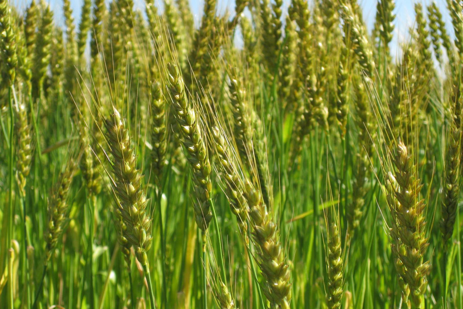収穫前の小麦畑