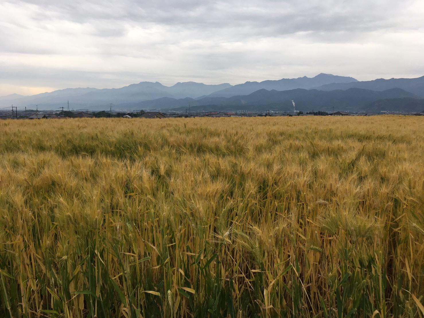 収穫を前にしたはだか麦。背後には西本最高峰・石鎚山も(撮影:愛媛県西条市)