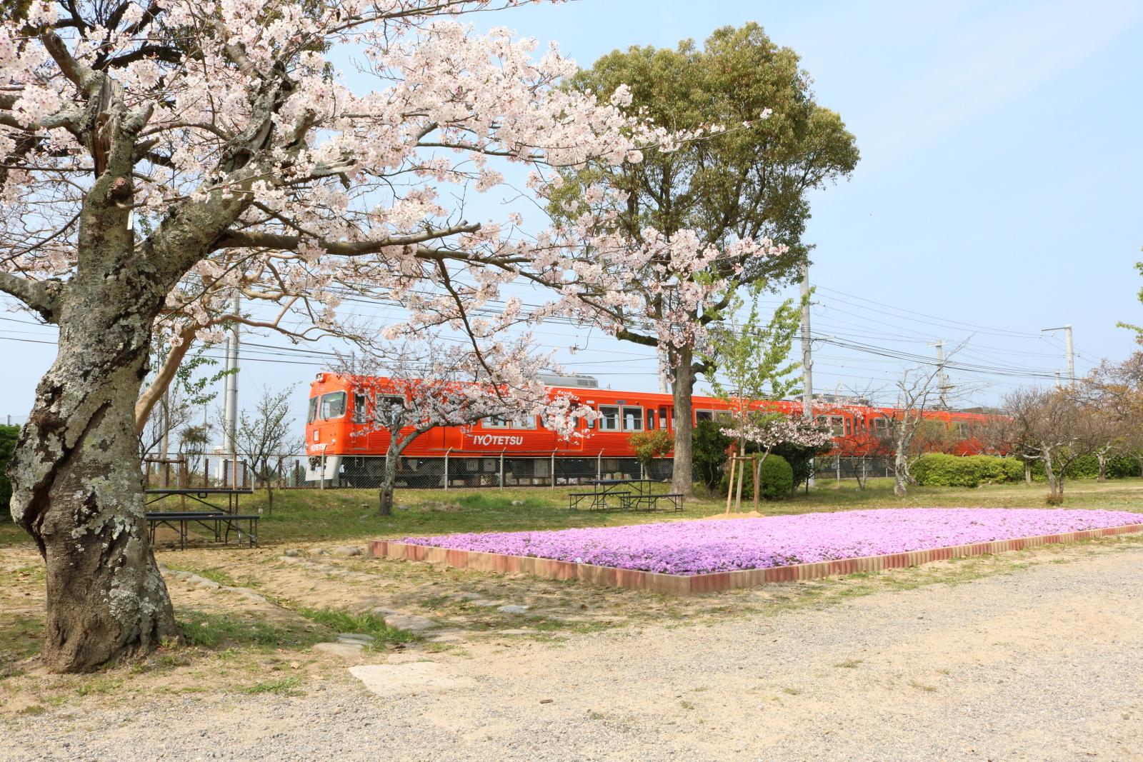 駅近くの梅津寺公園。梅、桜、つつじ、つばきなどで四季を通じて楽しむことができる。写真提供:伊予鉄グループ