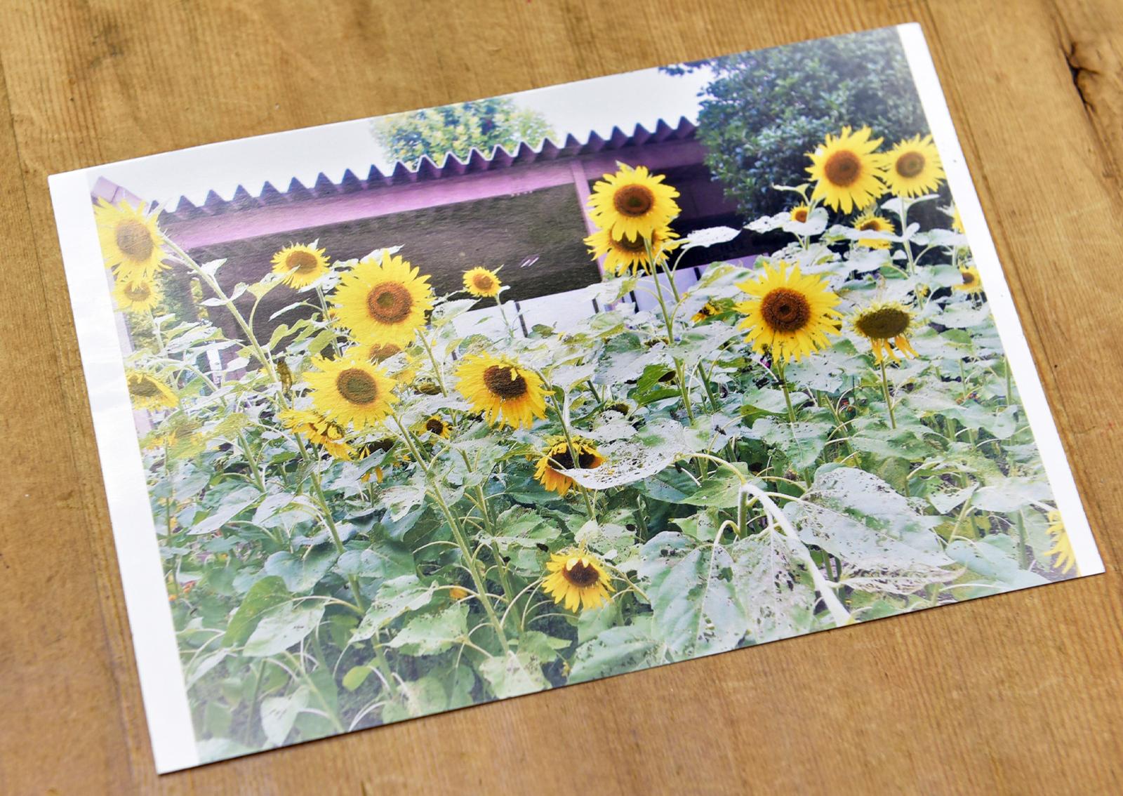 熊本市立詫麻原小学校のPTA花だん委員会から、ヒマワリの写真をプリントしたハガキをいただいた。