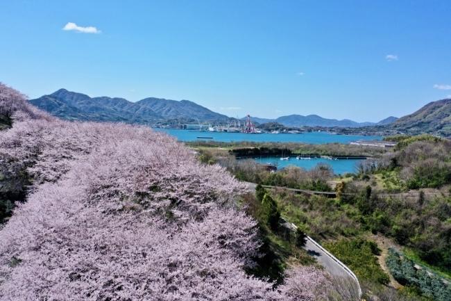 広島県三原市の佐木島 塔ノ峰千本桜