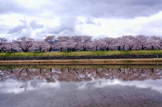 富山県朝日町の桜の四重奏