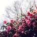 女性らしい香りといえばバラの香り。ローズがふんわりと香るボディミスト