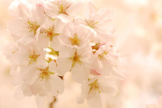 桜色の世界:詩的な写真日和:So-net blog (23040)