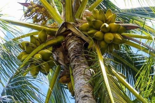 ココナッツの実から採れる「ココナッツオイル」