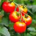 トマトは焼くとリコピン激増!食べるタイミングでも効果が違う?!