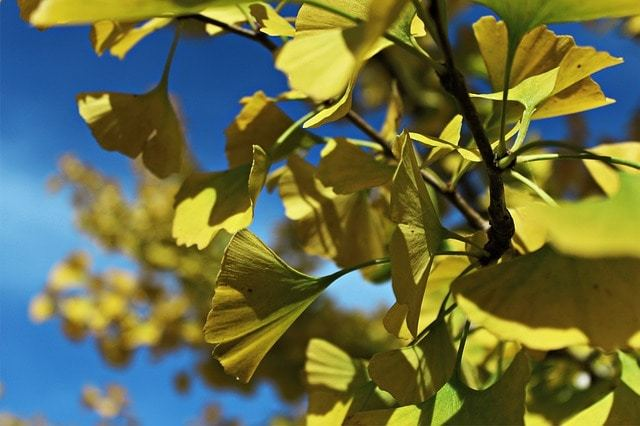 Free photo: Ginko, Leaves, Ginko Tree, Nature - Free Image on Pixabay - 496945 (5235)