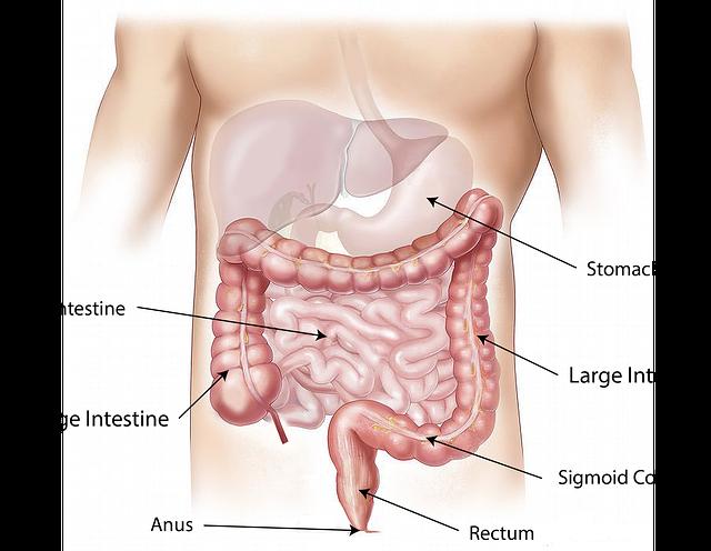Free illustration: Abdomen, Intestine, Large, Small - Free Image on Pixabay - 1698565 (5887)