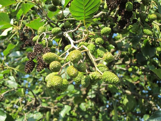 Free photo: Alnus Glutinosa, Alder - Free Image on Pixabay - 844513 (7274)