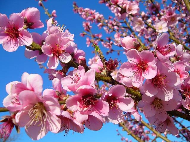 Free photo: Peach, Flower, Flower Peach, Spring - Free Image on Pixabay - 1939218 (7350)