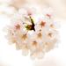 桜コスメでひとあし先にお花見気分♡