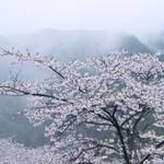 【国内随一の桜名所】吉野に咲き乱れる桜は南朝で散った武士たちの魂