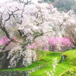 【いよいよ桜シーズン到来!】あの武将も愛した!?戦国武将ゆかりの花見まとめ
