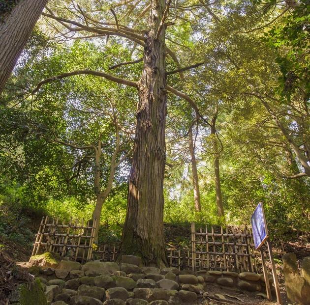 初代片倉小十郎景綱の墓標である一本杉