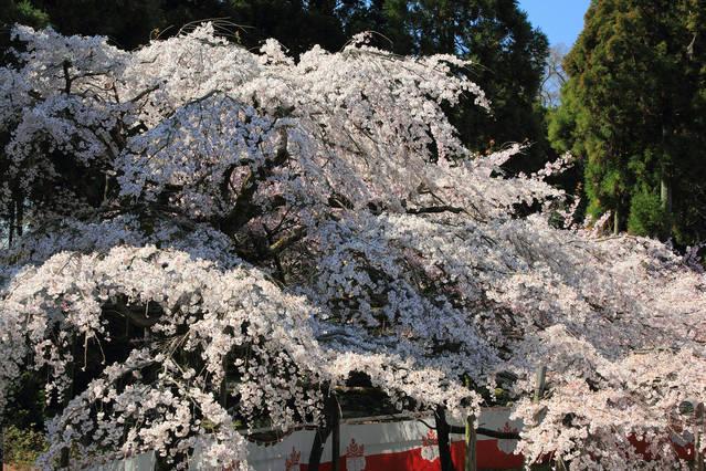 三宝院に咲き誇る桜