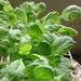 ベランダで野菜を育てよう!その1(小松菜編)