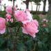 バラ好きの人なら何度も行ってみたくなる公園!兵庫県伊丹市にある荒牧バラ公園を取材しました。