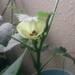 可憐で南国風な花も、見ものです!そんな「オクラ」に挑戦!