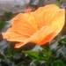 「夏の花」といえば、やはり「ハイビスカス」!