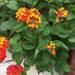 ランタナ(七変化)の育て方。花が終わったあとの切り戻し方法や花の増やし方