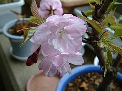 <旭山の花>