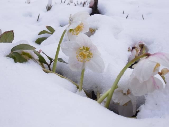 雪中のニゲル|写真素材なら「写真AC」無料(フリー)ダウンロードOK (8163)