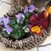 春の庭に欠かせないパンジー・ビオラの楽しみ方や育て方