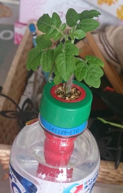 ペットボトル型水耕栽培