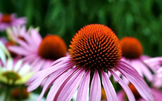 エキナセア 花 コーンフラワー · Pixabayの無料写真 (12021)