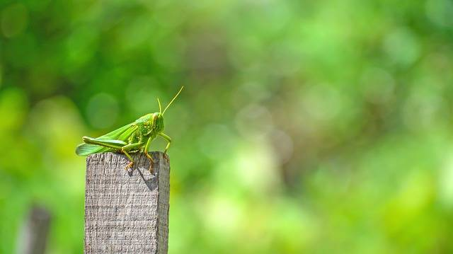 Free photo: Grasshopper, Animal, Insects, Trees - Free Image on Pixabay - 1505079 (380)
